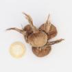 Safranbolu Safran Soğanı Orta Boy